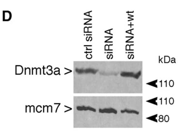 Western blot - Anti-Dnmt3a antibody - ChIP Grade (ab2850)