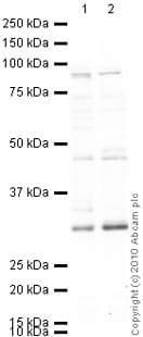Western blot - Anti-Dnmt3b antibody - ChIP Grade (ab2851)