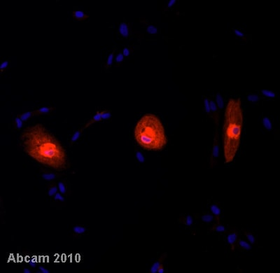Immunocytochemistry/ Immunofluorescence - Anti-Phospholamban antibody [2D12] (ab2865)