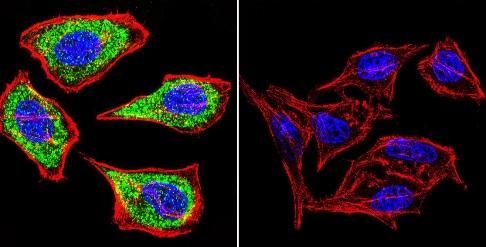 Immunocytochemistry/ Immunofluorescence - Anti-Hydrogen Potassium ATPase Beta/ATP4B antibody [2G11] (ab2866)