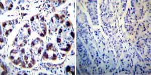 Immunohistochemistry (Formalin/PFA-fixed paraffin-embedded sections) - Anti-Hydrogen Potassium ATPase Beta/ATP4B antibody [2G11] (ab2866)