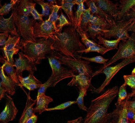 Immunocytochemistry/ Immunofluorescence - Anti-alpha 1 Sodium Potassium ATPase antibody [M8-P1-A3] (ab2872)