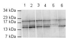 Western blot - Anti-Histone H4 (di methyl K79) antibody (ab2885)
