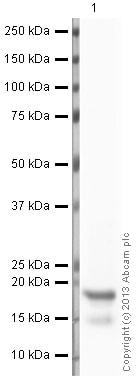Western blot - Anti-Histone H3 (mono methyl K79) antibody - ChIP Grade (ab2886)