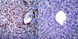 Immunohistochemistry (Formalin/PFA-fixed paraffin-embedded sections) - Anti-KDEL antibody (ab2898)