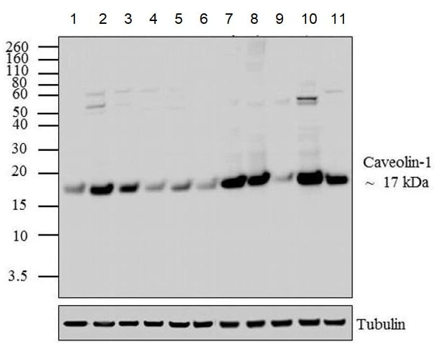 Western blot - Anti-Caveolin-1 antibody - Caveolae Marker (ab2910)
