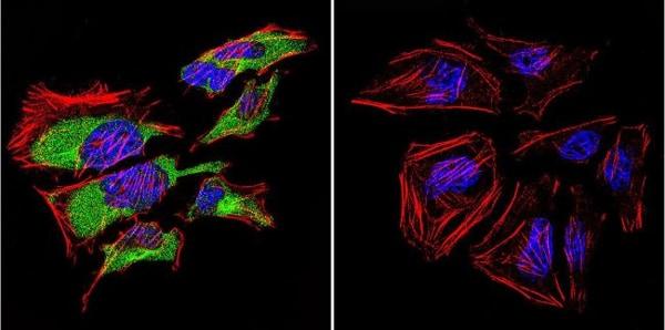 Immunocytochemistry/ Immunofluorescence - Anti-Caveolin-3 antibody (ab2912)