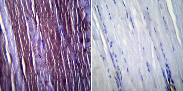 Immunohistochemistry (Formalin/PFA-fixed paraffin-embedded sections) - Anti-Caveolin-3 antibody (ab2912)