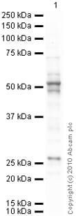 Western blot - Anti-pan Arrestin antibody (ab2914)