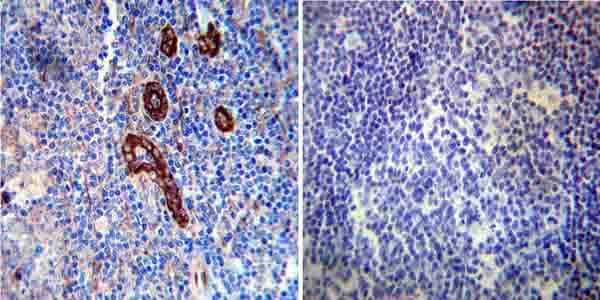 Immunohistochemistry (Formalin/PFA-fixed paraffin-embedded sections) - Anti-FKBP12 antibody (ab2918)
