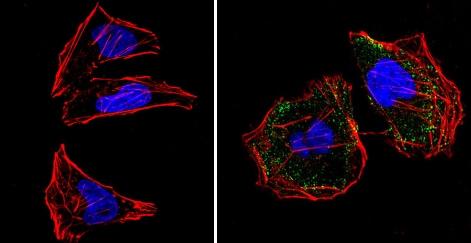 Immunocytochemistry/ Immunofluorescence - Anti-RASA1 antibody [B4F8] (ab2922)