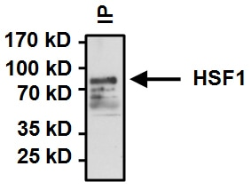 Immunoprecipitation - Anti-HSF1 antibody (ab2923)