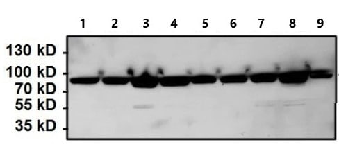Western blot - Anti-Hsp90 beta antibody (ab2927)