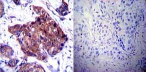 Immunohistochemistry (Formalin/PFA-fixed paraffin-embedded sections) - Anti-Hsp90 beta antibody (ab2927)