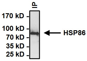 Immunoprecipitation - Anti-Hsp90 alpha antibody (ab2928)