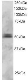 Western blot - Anti-PAX5 antibody (ab2935)