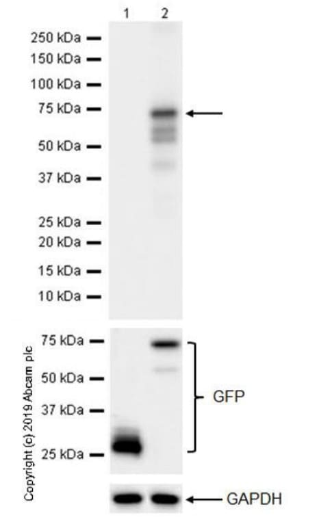 Western blot - Anti-FOXP3 antibody [236A/E7] (ab20034)