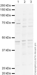 Western blot - Anti-Dopamine Receptor D1 antibody (ab20066)