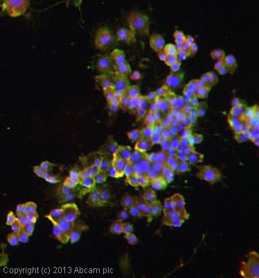 Immunocytochemistry/ Immunofluorescence - Anti-DRD4 antibody (ab20424)