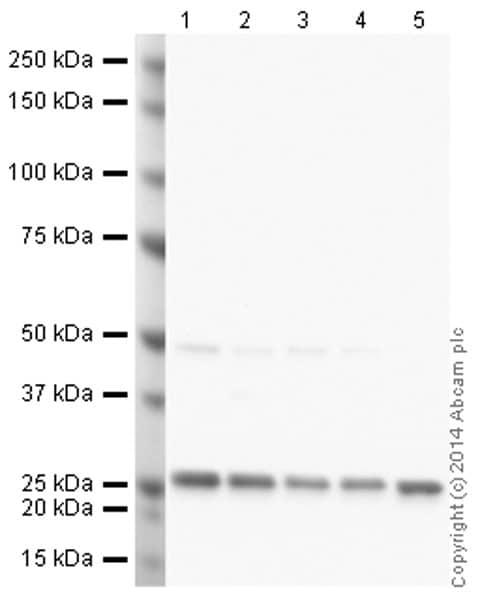 Western blot - Anti-PGP9.5 antibody [31A3] (ab20559)