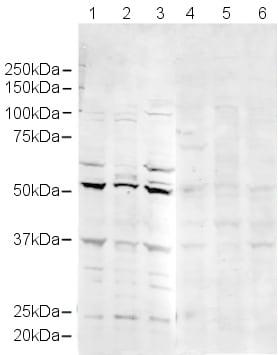 Western blot - Anti-MiTF antibody (ab20663)
