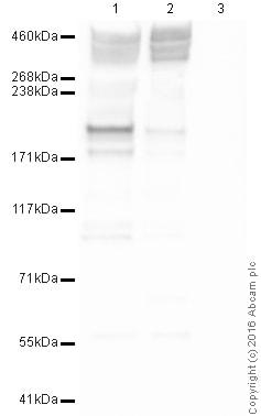 Western blot - Anti-Piccolo antibody (ab20664)