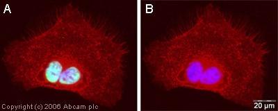 Immunocytochemistry/ Immunofluorescence - Anti-hnRNP U/p120 antibody (ab20666)