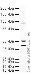 Western blot - Anti-Ionotropic Glutamate receptor 2 antibody (ab20673)