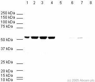 Western blot - Human beta Tubulin peptide (ab20775)
