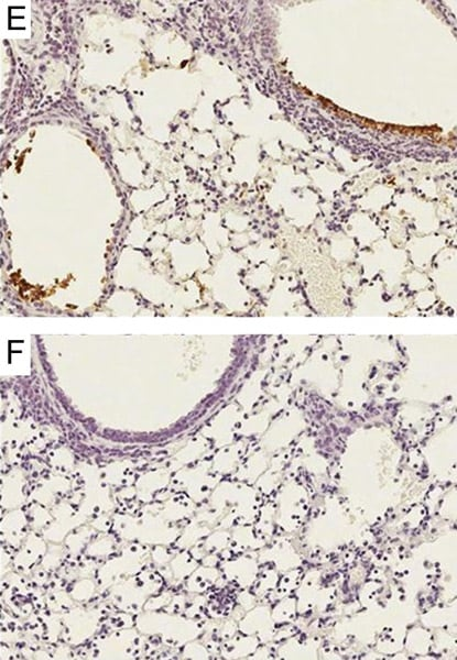 Immunohistochemistry (Formalin/PFA-fixed paraffin-embedded sections) - Anti-Influenza A Virus antibody (ab20841)