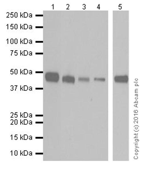 Western blot - Anti-PCGF6 antibody [EPR19450] (ab200038)