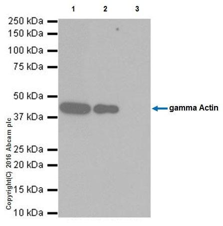 Immunoprecipitation - Anti-gamma Actin antibody [EPR19353-2] (ab200046)