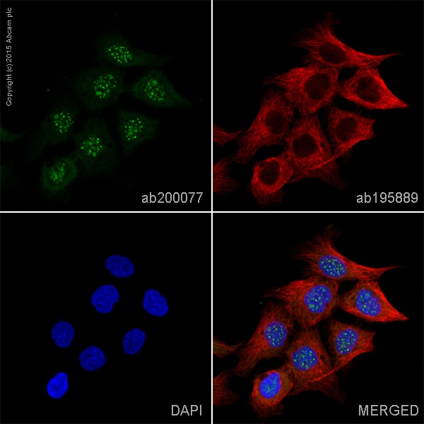 Immunocytochemistry/ Immunofluorescence - Anti-Caspase-14 antibody [EPR12927] (Alexa Fluor® 488) (ab200077)