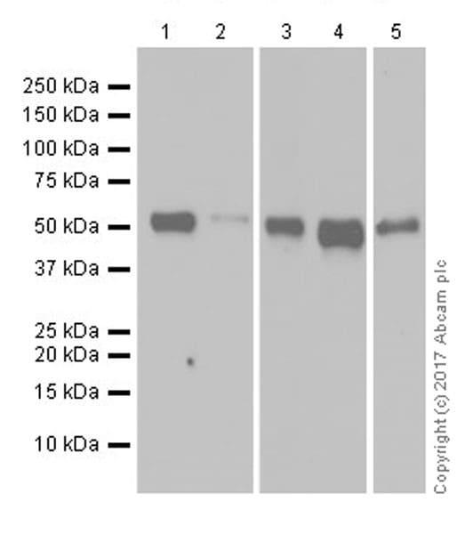 Western blot - Anti-HNF-4-alpha antibody [EPR19265-130] - ChIP Grade (ab200142)