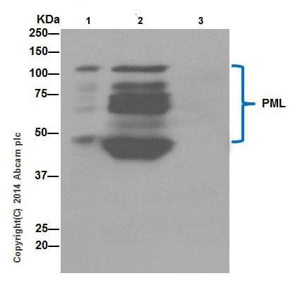 Immunoprecipitation - Anti-PML Protein antibody [EPR16768] (ab200200)