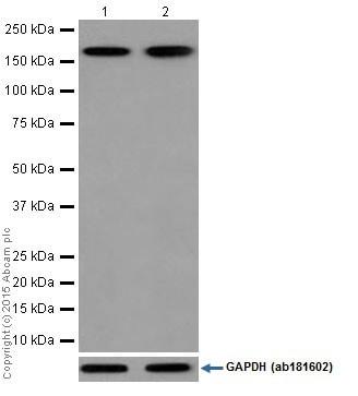 Western blot - Anti-PELP1 antibody [EPR15213] (ab200203)