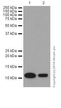 Western blot - Anti-FXYD1/PLM antibody [EPR16082] (ab200204)