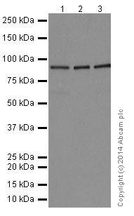 Western blot - Anti-STAT5a + STAT5b antibody [EPR16668] (ab200341)