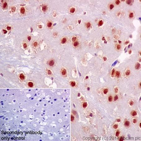 Immunohistochemistry (Formalin/PFA-fixed paraffin-embedded sections) - Anti-HuR / ELAVL1 antibody [EPR17397] (ab200342)