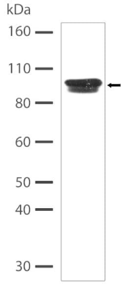 Western blot - Anti-Insulin Receptor antibody [6H23L15] - C-terminal (ab200479)