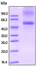 SDS-PAGE - Recombinant human SPOCK1 protein (ab200491)