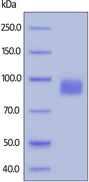 SDS-PAGE - Recombinant human ErbB 2 (biotinylated ) protein (Biotin) (ab200500)