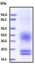 SDS-PAGE - Recombinant Cynomolgus Monkey CD3 delta + CD3 epsilon protein (ab200501)
