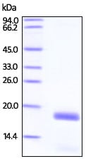 SDS-PAGE - Recombinant Human Stathmin 1 protein (ab200502)