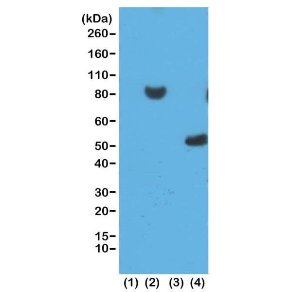 Western blot - Anti-6X His tag® antibody [RM146] (ab200537)