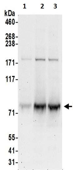Western blot - Anti-GTPBP1 antibody (ab200550)