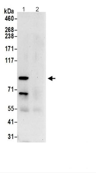 Immunoprecipitation - Anti-ACAP2 antibody - C-terminal (ab200583)