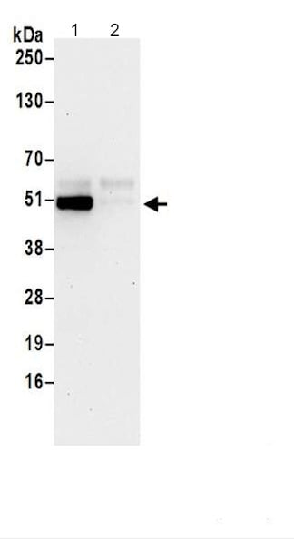 Immunoprecipitation - Anti-HS1BP3 antibody - C-terminal (ab200592)