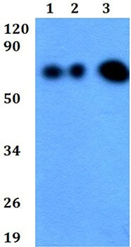 Western blot - Anti-EDEM1 antibody (ab200645)