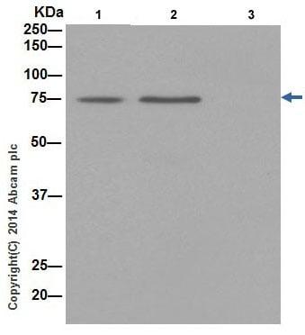 Immunoprecipitation - Anti-HADHA antibody [EPR17939] (ab200652)